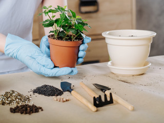 Apartment gardening. Person engaged in potting plant. Houseplant with soil and garden tools.