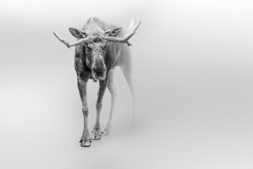 Wall Mural - Moose american or canadian wildlife animals white edition