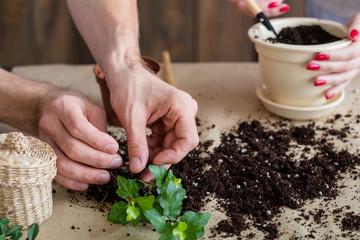 Plant transplantation. Home flora care. Eco family concept. Couple hands replanting houseplant.