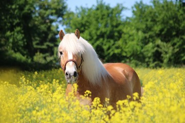 beautiful haflinger horse is standing in a rape seed field