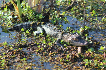 Alligator in a pond with swamp grass