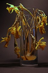 Vertrocknete Osterglocken in der Vase