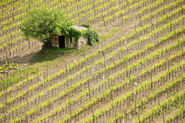Vineyard with a small farmhouse in Montalcino, Val d'Orcia, Tuscany, Italy