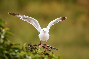 Red-billed gull in flight