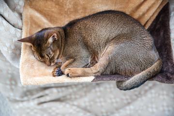 Beautiful abyssinian female cat. Sleeping cat.