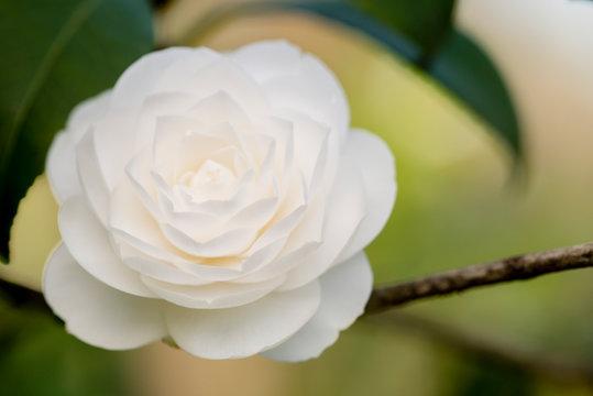 Detail of Camelia flower