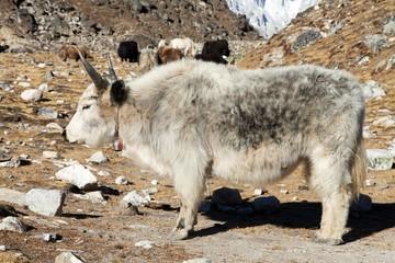White and grey yak -  Nepal himalayas, Mountains animal