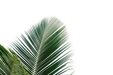 Coconut leaves on white isolated background for green foliage backdrop
