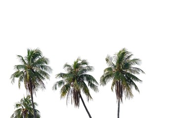 Tropical coconut tree trunks growing in a garden on white isolated background for green foliage backdrop