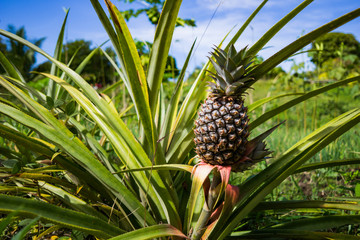 Pineapple Growing on a plantation.