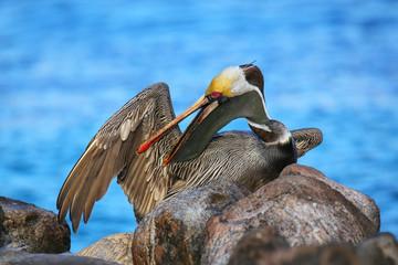 Brown pelican grooming, Espanola Island, Galapagos National park, Ecuador