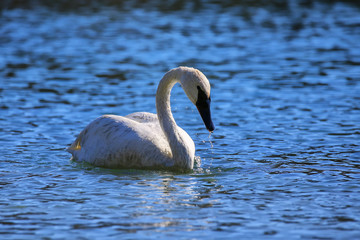Trumpeter swan in Yellowstone National Park, Wyoming