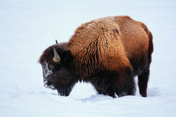 Male bison looking for grass under the snow during winter, Yellowstone National Park, Wyoming
