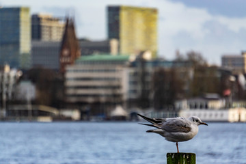 Möwe an der Alster in Hamburg