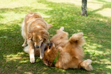 cachorros brincando de lutar no parque