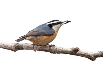 Red-breasted Nuthatch and a Sunflower Seed