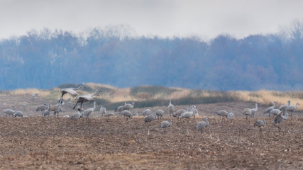 Sandhill Cranes Graze in a Field