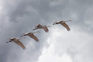 Sandhill Cranes Fly from Storm Clouds