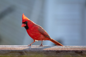 red cardinal on a wood