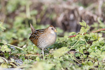 the waterbird sora