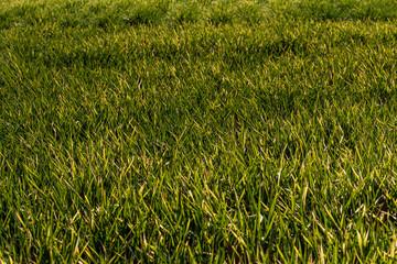 Cesped verde en prado.
