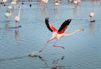 Stores à enrouleur Flamingo Envol flamant rose