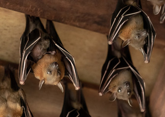 Lesser Dog-faced Fruit Bat, Cyneropterus brachyotis, Mother with juvenile Wall mural