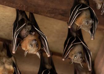 Lesser Dog-faced Fruit Bat, Cyneropterus brachyotis, Mother with juvenile