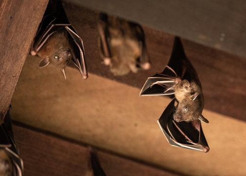 Lesser Dog-faced Fruit Bat, Cyneropterus brachyotis, hanging in a roof