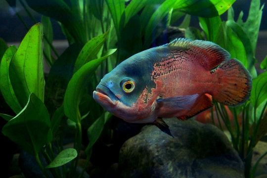 astronotus ocellatus or oscar fish