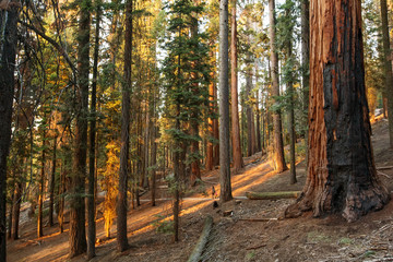 Sunset in Sequoia national park in California, USA