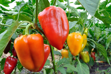 close-up of ripening peppers Fototapete
