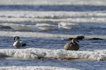 Female eider duck sitting on ice while male eider duck is floating nearby in cold icy water, near Arviat, Nunavut Canada