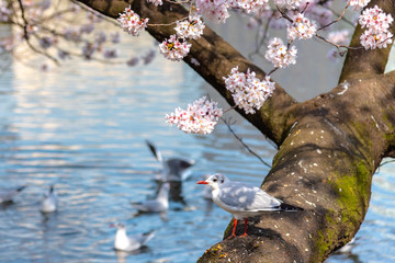 Close-up Black-headed gull birds (Chroicocephalus ridibundus) and sakura cherry blossoms full bloom in springtime sunny day around Ueno park lake at Tokyo, Japan.