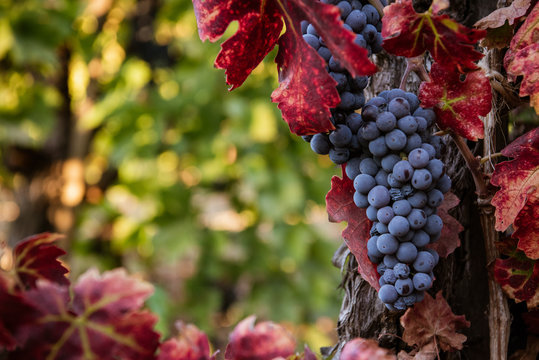 Ripe red wine grapes on the vine in the vineyard before harvest