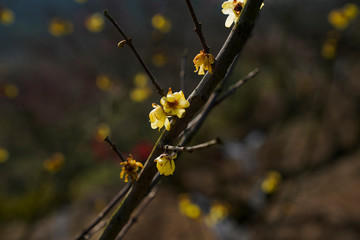 Blooming Plum Blossoms
