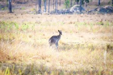Eastern Grey Kangaroo Looking Back In Field, Queensland, Australia
