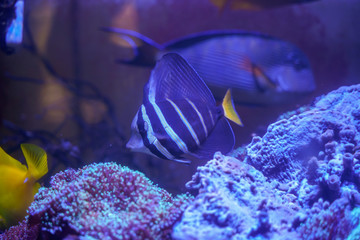 Wall Mural - Sailfin tang (Zebrasoma veliferum) swimming in reef tank