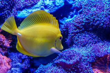Wall Mural - Yellow tang (Zebrasoma flavescens) finding something to eat