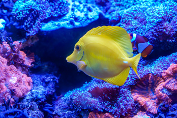 Wall Mural - Yellow tang (Zebrasoma flavescens) swimming around coral reef