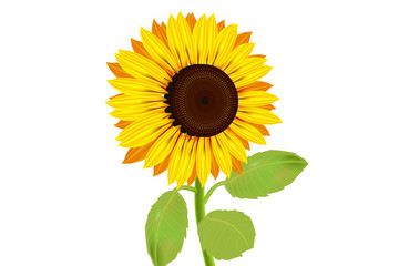 Sunflowers, yellow flowers with isolated white background