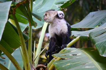 Capuchins on a branch