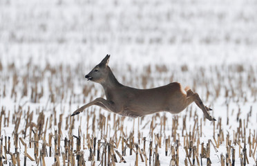 Roe deer runs in a field near the village of Garadishche
