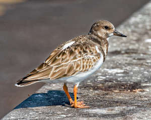 Ruddy turnstone on the concrete barrier at Skyway Fishing Pier