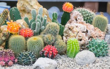 Papiers peints Cactus Group cactus garden in pot with white stone for decorate .Gymnocalycium,Chin cactus,Mammillaria plumosa,Cereus peruvianus,Mammillaria scrippsiana,Echinocactus grusonii,Eriocactus leninghausii