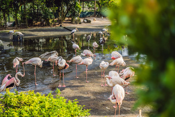 Pink flamingo or flamingoes are a type of wading bird in the family Phoenicopteridae, the only bird family in the order Phoenicopteriformes. Flamingos are very social birds