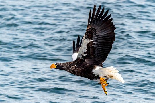 Flying Predatory Stellers Sea-eagle