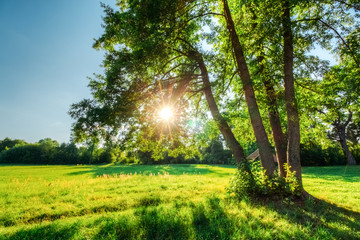 Sun in branches with green foliage of an oak tree in a summer field. Landscape