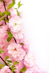 Beautiful pink almond blossoms on white background.