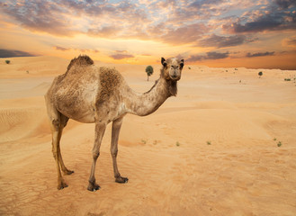 Middle eastern camels in a desert, United Arab Emirates.